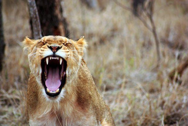 Safariresa lejon